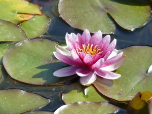 Lotus Flower Pond Water